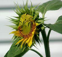 Sunflower opening by Margaret  Shark