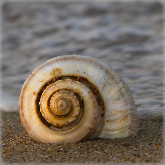 channeled whelk by Jacque Gates