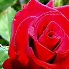 The Rose by Wanda Raines