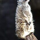 Meerkat by Frank Moroni