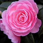 Blossoms in Pink - Whetstone, UK by Vanessa  Warren