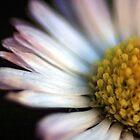 The common daisy by David Gray