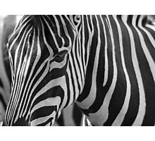 Captive Zebra  Photographic Print