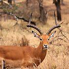 serengeti impala by Iris Mackenzie