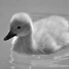Miniature Bewicks swan  by Darren Bailey LRPS