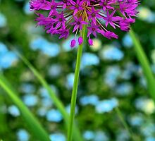 --Lavender Allium by T.J. Martin