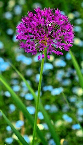 --Lavender Allium by T.J. Martin