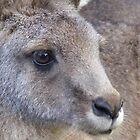 wallaby portrait by gaylene