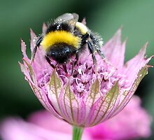 Astrantia visitor by John Morrison