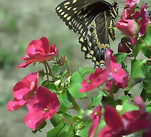 Black Swallowtail by DottieDees