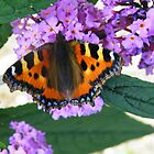 Red Admiral on buddleia by lizjames