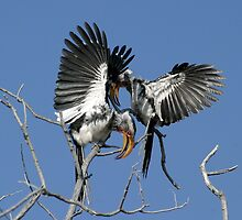 Yellow-billed hornbills by Clive Temple