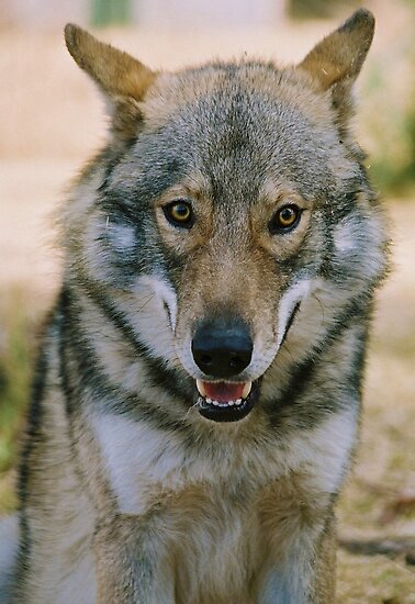 Alaskin Timber Wolf by Alexa Pereira