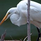 Mother Egret  by Bonnie T.  Barry