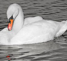 Sleeping Swan, Hogganfield Loch, Glasgow, Scotland, UK, Europe by simpsonvisuals