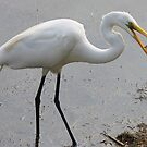 Great White Egret caught a Shrimp  by Paulette1021