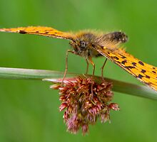Small Pearl-bordered Fritillary by Neil Bygrave (NATURELENS)