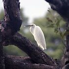 Cattle Egret by Darren Williamson