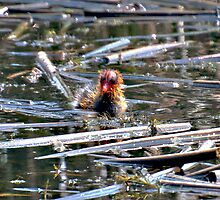 Coot Chick  by Judy Grant
