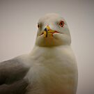 Seagull Stare by Xcarguy