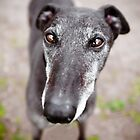 Greyhound Hypnotizer by Leanne Graham