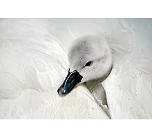 Young Cygnet Photographic Print