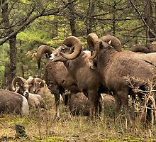 Bighorn Rams - The Kootenay's by JamesA1