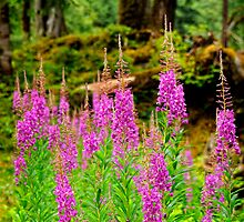 Fireweed by Claudia Kuhn