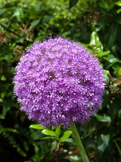 Allium giganteum - One single flower may be a world by bubblehex08