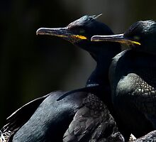 Shags in the sun... by J Osborne