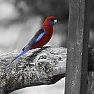 Rosella  by Susan Brown