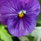 Sweet Purple Pansy by Corri Gryting Gutzman