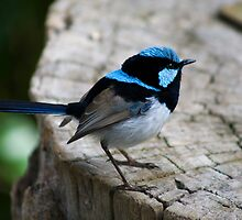 Superb Fairy wren by Matt  Harvey