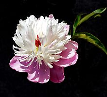 Peony on Black by wippapics