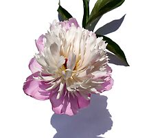 Peony on White by wippapics