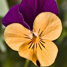 Viola by Ray Clarke