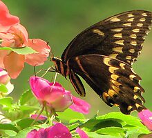 Black Swallowtail IV by DottieDees