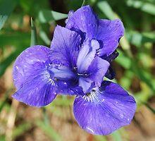Blue Iris by justbmac