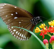 Butterfly on blooms. by John Morrison