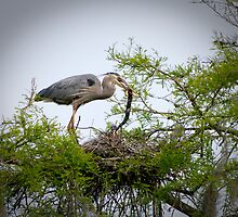 Great Blue Heron Feeding Snake to her Young by imagetj