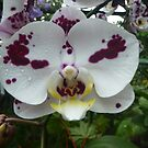 An orchid can't change its spots by shwetha