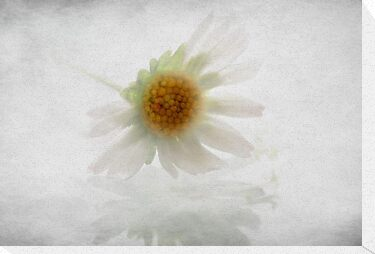 little daisy by Anne Seltmann