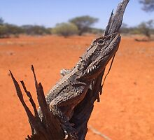 Dwarf Bearded Dragon by EnviroKey