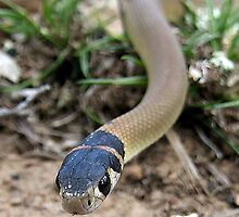 Eastern Brown Snake by EnviroKey