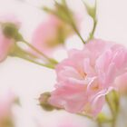 Rose collection 5 by aMOONy