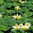 Lotus Pond 063 by Brenda Loveless