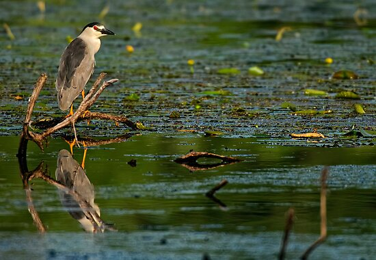 Black Crowned Night Heron - Ottawa, Ontario by Michael Cummings