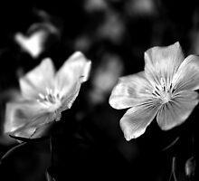 Delicate in Mono by Linda Bianic