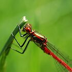 Red Damselfly at rest  by PinkK