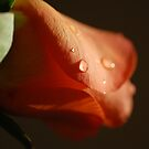 Waterdrops on rose by PinkK